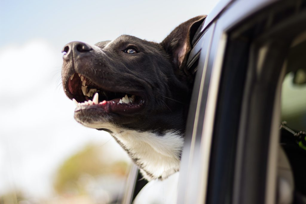 Dog with head out car window